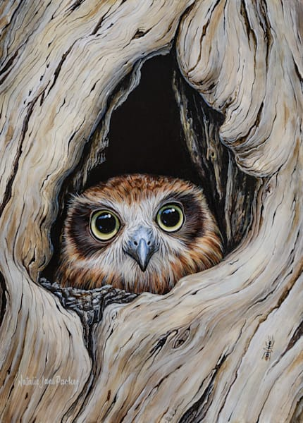 Peek-a-Boobook - Australian Boobook Owl | Australian Native Wildlife