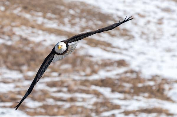 American Beauty - Adult Bald Eagle in Flight