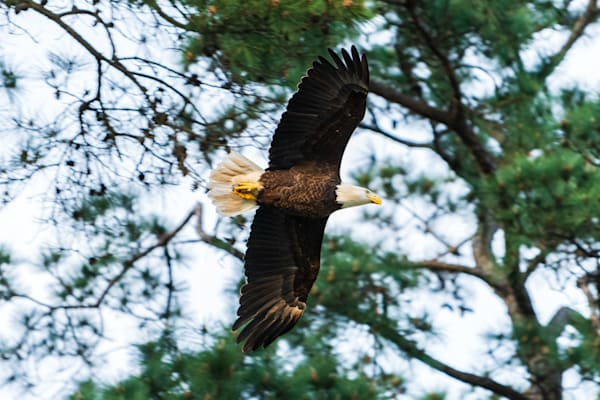 Coming Home - American Bald Eagle in Flight