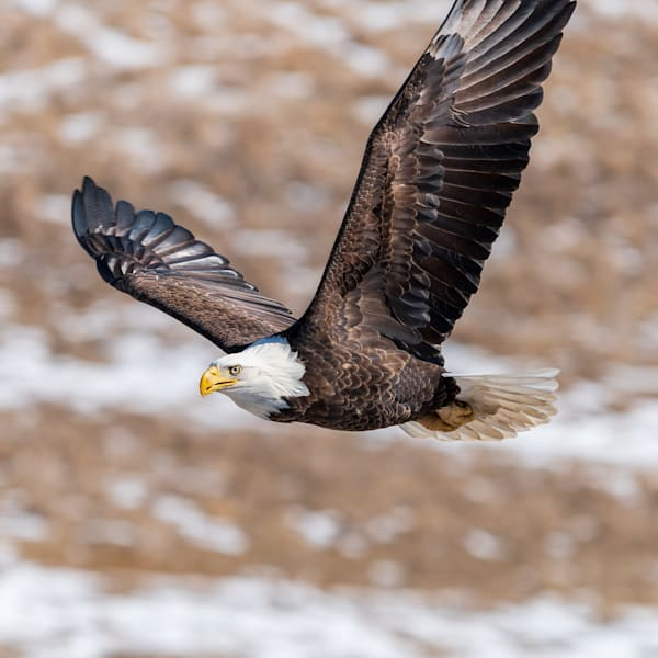 On A Mission   American Bald Eagle In Flight Photography Art | Enigma Fotos