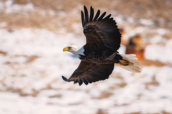 Graceful Flight of an American Bald Eagle