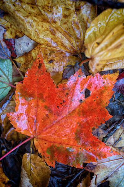 Red Maple Leaf | Shop Photography by Rick Berk