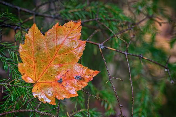 Maple Leaf on Pine Bough | Shop Photography by Rick Berk