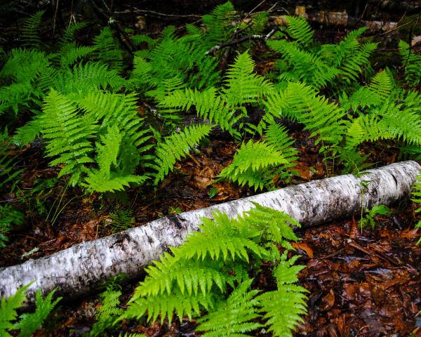 Fine Art Print   White Birch and Ferns in Acadia