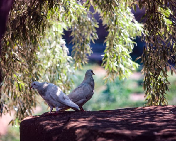 Fine Art Print | Mating Pair of Doves Under Willow Tree