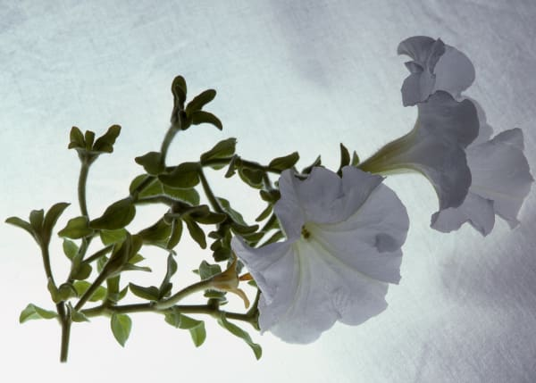 Fine Art Print | White Petunia on High Key Backdrop