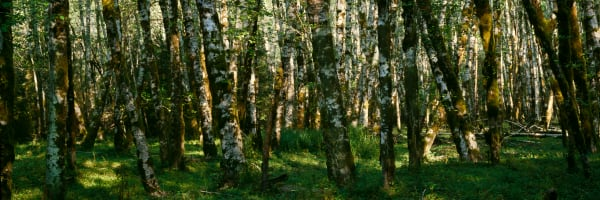 Fine Art Print | Red Alder Grove in Rain Forest Pamoramic