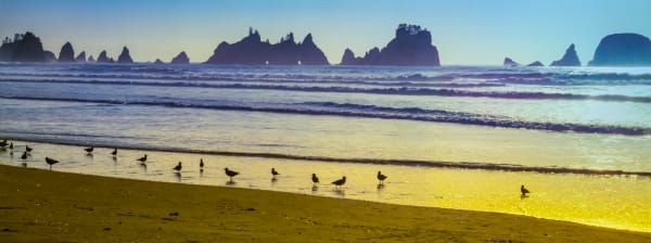 Print of Sand Pipers and Sea Stacks as Panorama