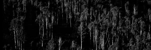 Fine Art Print | Panoramic Aspen Grove Mountainside