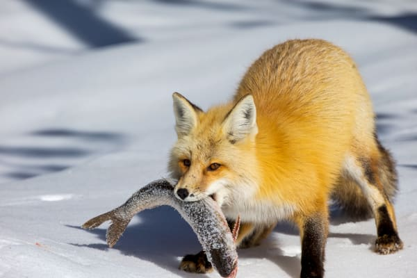 The Red Fox | Robbie George Photography