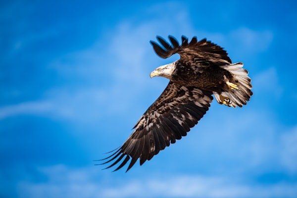 Photograph of a flying Bald Eagle