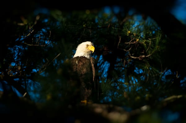 Photograph of an eagle perched in a tree.