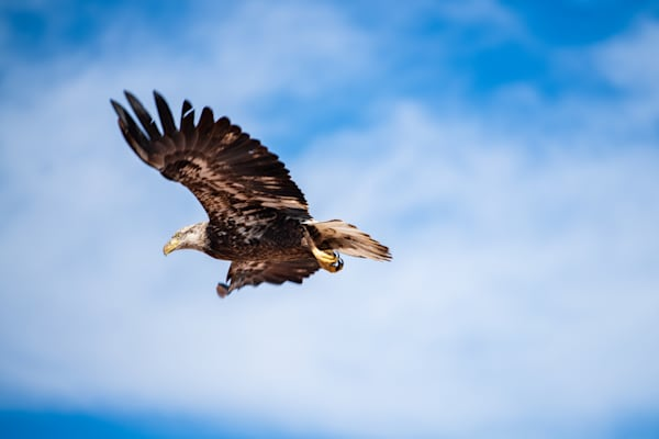 Photograph of American Bald Eagle in Flight