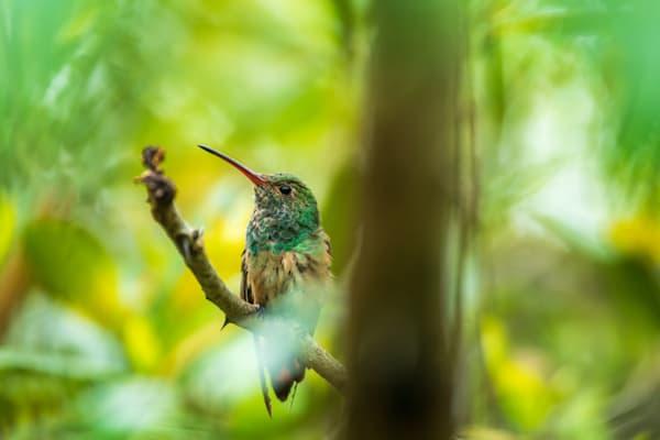 Buff-bellied Hummingbird Portrait