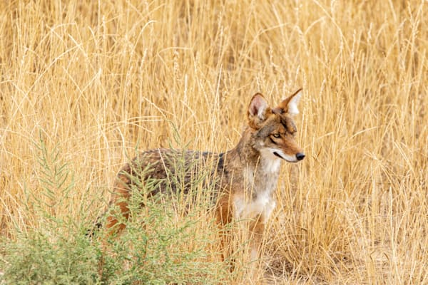 Photograph of a young coyote in the fields of Colorado