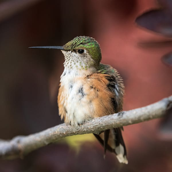 Photograph of a beautiful hummingbird sitting on a tree branch.