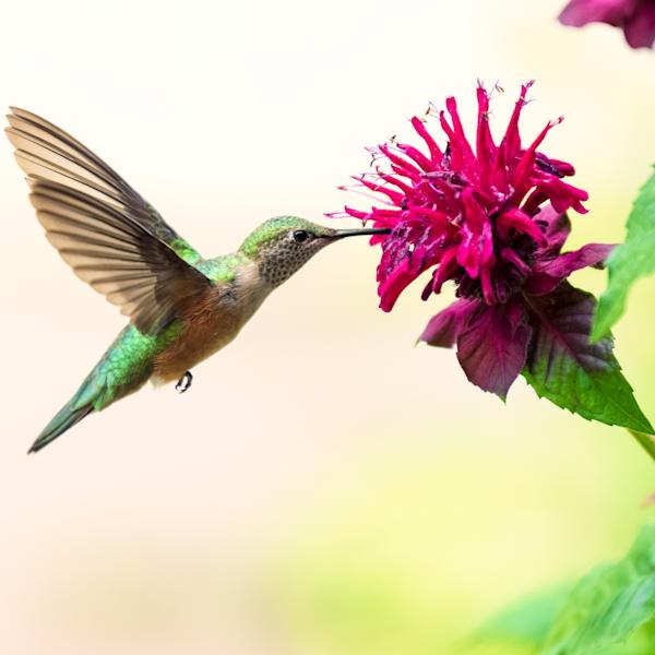 Photograph of a Hummingbird feeding on a flower.