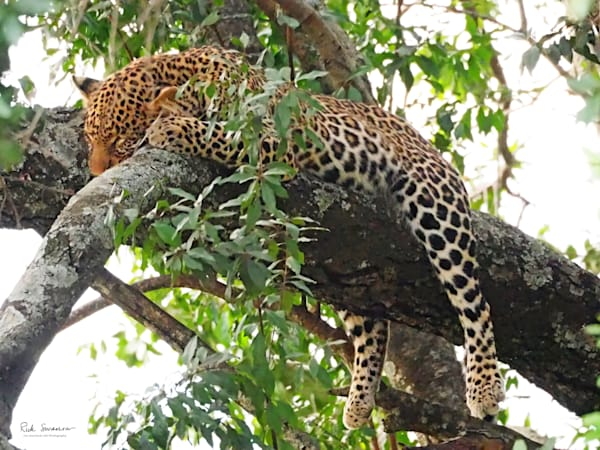 Leopard Taking Nap