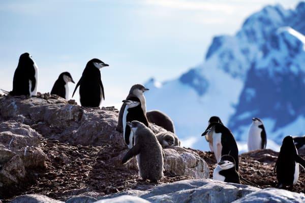 Penquin,Chinstrap,Antarctica