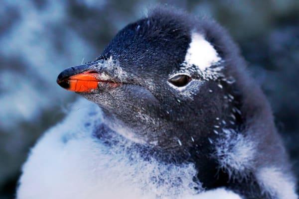 Penquin,Gentoo,Antarctica