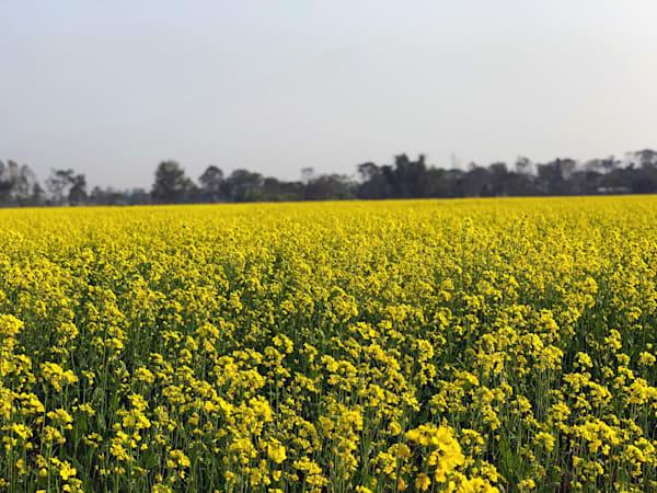 Mustard,Mustard Field,Nepal