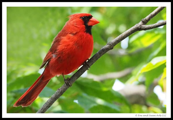 Red Cardinal Perched Greeting Card