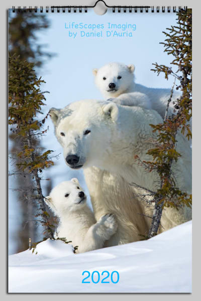 Polar Bears 2020 | danieldauria