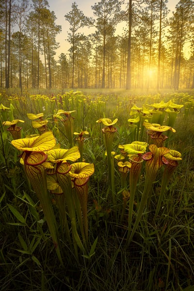 Sarracenia Flava hybrids | Golden Pitcher Plants| Northwest Florida | Fine Art Landscape Photography on Canvas, Paper, Metal | Photography by Jeff Waldorff