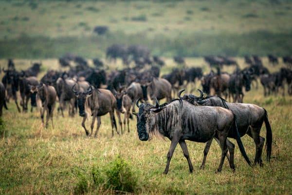Wildebeest In The Rain Photography Art | Carol Brooks Parker Fine Art Photography