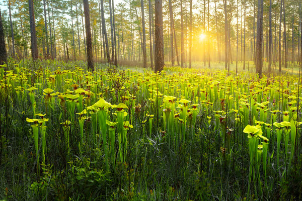 Sarracenia Flava | Yellow Topped Pitcher Plants| Northwest Florida | Fine Art Landscape Photography on Canvas, Paper, Metal | Photography by Jeff Waldorff