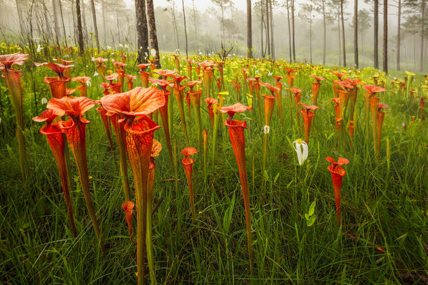 Sarracenia (Pitcher Plants) | Northwest Florida | Fine Art Landscape Photography on Canvas, Paper, Metal | Photography by Jeff Waldorff