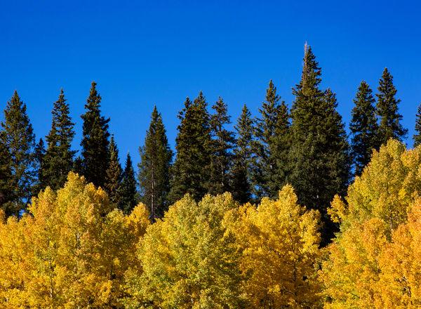 Aspen Pine Sky Photography Art   Kristofer Reynolds Photography