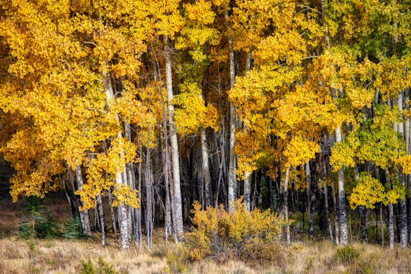 Autumn aspens - Colorado fall colors fine-art photography