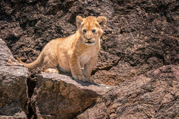 Portrait Of A Lion Cub Photography Art | Carol Brooks Parker Fine Art Photography
