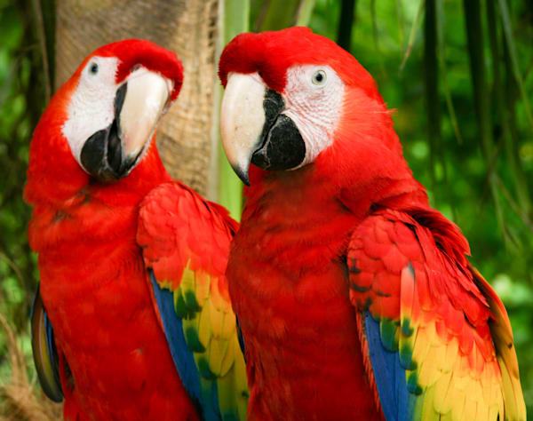 A Pair Of Parrots Photography Art | Kristofer Reynolds Photography