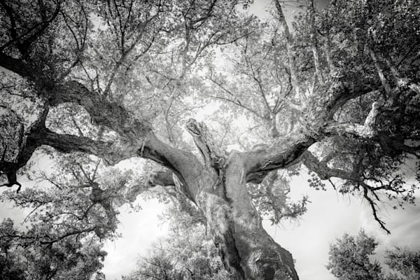 Dancing Cork Oak 1