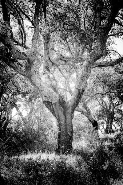 The Heroic Cork Oak