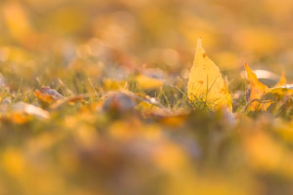 Low-angle autumn ash leaves - shop fine art prints | Closer Views