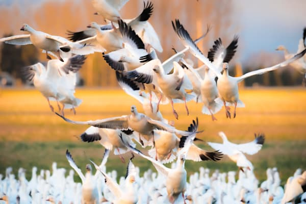 Snow Geese Riot