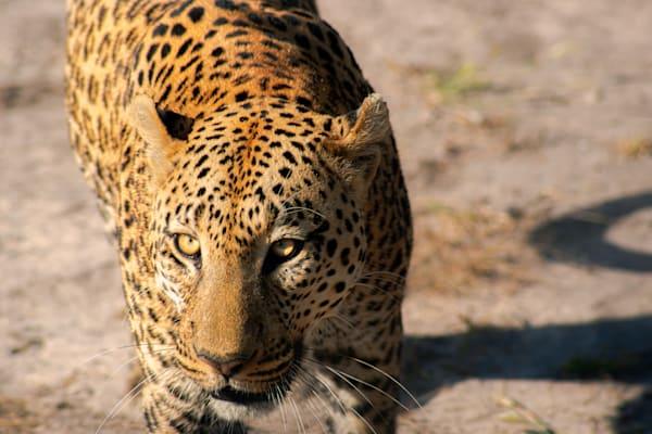 Leopard, African Safari, Botswana, Matej Silecky Photography