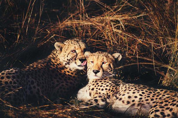 Cheetahs, African Safari, Botswana, Matej Silecky Photography
