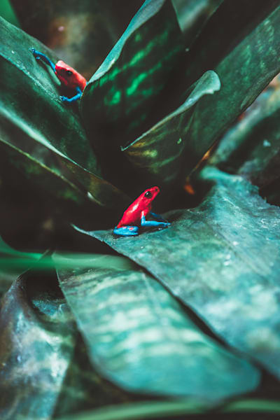 Matej Silecky Photography Poison Dart Frogs