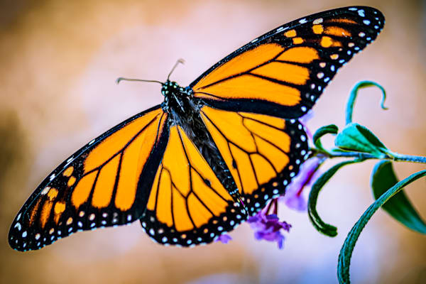 """Butterfly on a Butterfly Bush"" Photograph for Sale as Fine Art by John Scala"