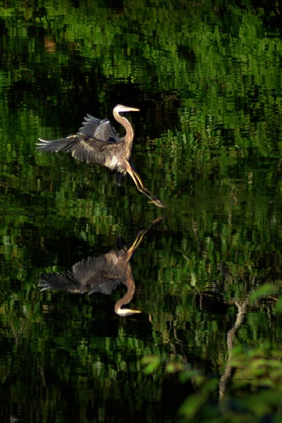 Great Blue Heron Landing Gear Down Delaware River 2019 - Debra Cortese Nature Art