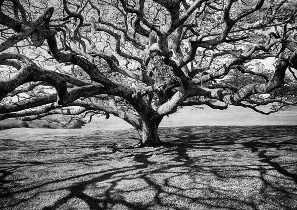 Tree Of Life Black And White Photography Art | Rosanne Nitti Fine Arts