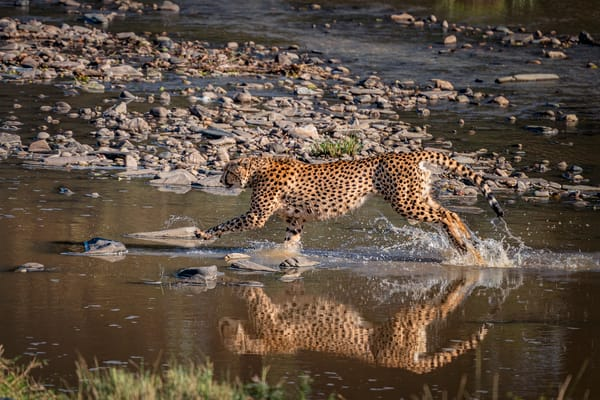 Cheetahs Don't Like Water Photography Art | Carol Brooks Parker Fine Art Photography