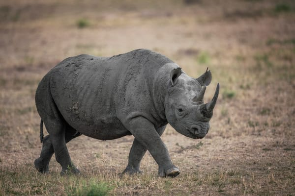 Black Rhinoceros, Kenya Photography Art | Carol Brooks Parker Fine Art Photography