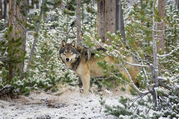 Wild GRAY WOLF.  Greater Yellowstone Area.  Fall.