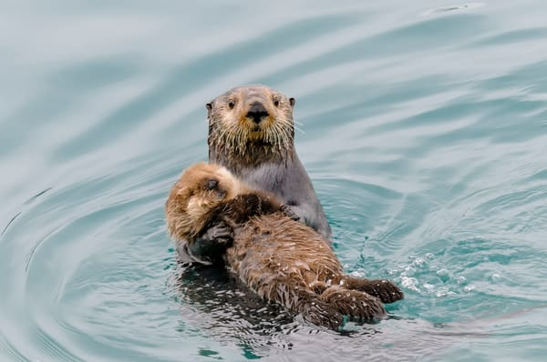Sea Otter mom carrying young pup