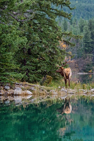 Rocky Mountain Elk Bull reflecting in pond.